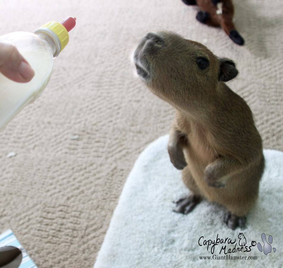 Cuteness Test « Capybara Madness