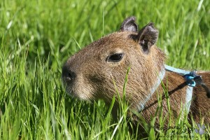 Capy in the grass