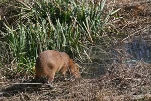 Caplin Rous, a capybara, stands beside a pond