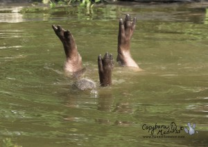 Capybara feet sticking out of the water as the capybara rolls