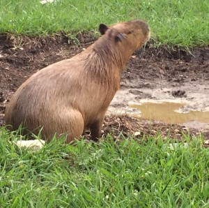 Capybara Mudskipper is shaking off while sitting next to a big  puddle of mud