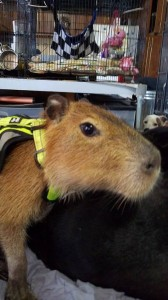 Cato Ross, a young capybara