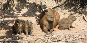 Wild capybara mother with three babies