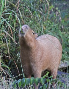 Mudskipper, a capybara, eats tall grass.