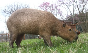Mudskipper Rous, a pet  capybara, grazing