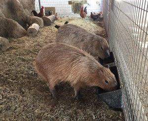 Two capybaras eating from small food troughs