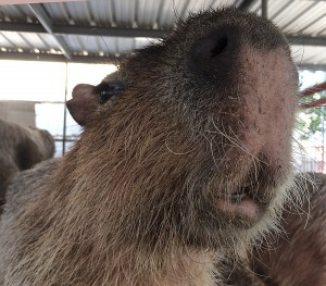 Closeup of capybara snout with open lips and tongue visible