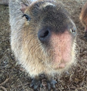 The snout of a capybara looking up, directly at the camera