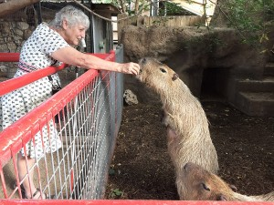 Wesley the capybara, standing on his hind legs begging for a treat.