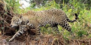 Brazilian jaguar walking