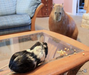 Capybara and guinea pig looking at each other