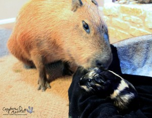 guinea pig with capybara