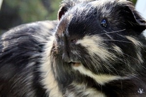 Closeup of the face of a guinea pig