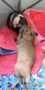 Baby capybara chewing on a guinea pig's ear