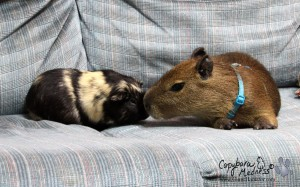 Baby capybara with guinea pib