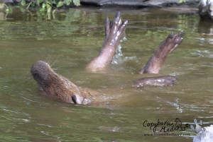 Capybara feet and nose sticking out of the water as she rolls