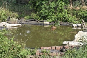 A pet capybara, Skipper Rous, swimming in her backyard pond
