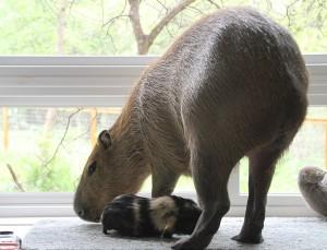 Guinea pig running underneath a standing capybara