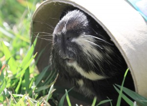 Guinea pig looking out of a cardboard tube in the grass