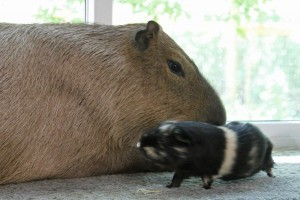 Guinea pig running in front of a pet capybara lying next to a window