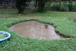 Skipper Rous swimming in her new pond