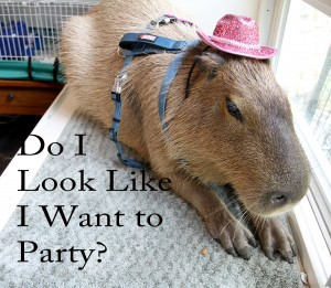 Capybara in a party hat looking miserable