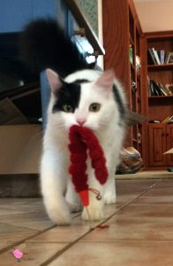 White and black cat (Driftwood) carrying a floppy red toy