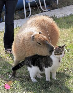 Capybara, Garibaldi Rous, hugging a brown and white tabby named Flopsy