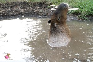 Capybara chewing on a plastic clothes hanger