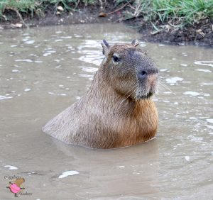 Capybara sitting in the water