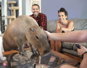 Capybara climbing onto coffee table