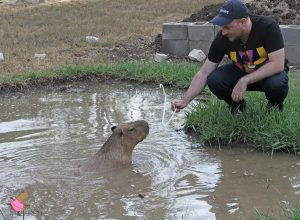 Man holding out plastic hanger over the water so a swimming capybara can grab it.
