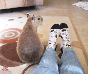 Baby capybara with woman's feet wearing cat socks