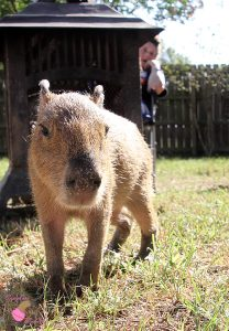 Woman in background watching a baby capybara walking