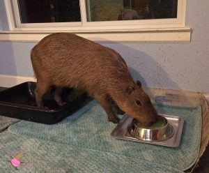 Capybara drinking milk out of a metal dog food bowl