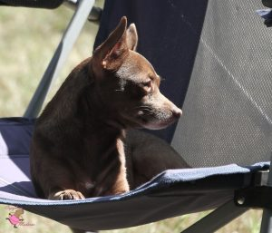 Closeup of a Chihuahua sitting on a lawn chair