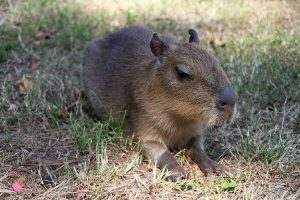 Baby capybara resting in the grass