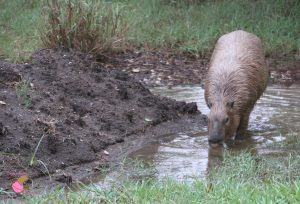 Skipper Rous drinking from a puddle