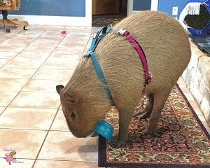 Capybara biting plastic bowl