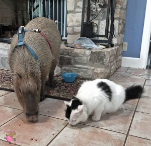 Adult capybara wearing harness off the floor with a white and black cat