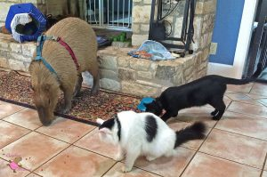An adult capybara and two cats eating treats off the floor